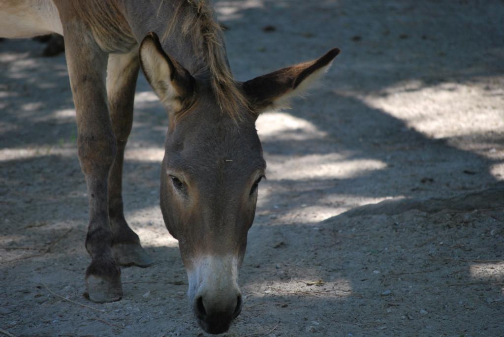 Parco Naturale di Cervia - asino