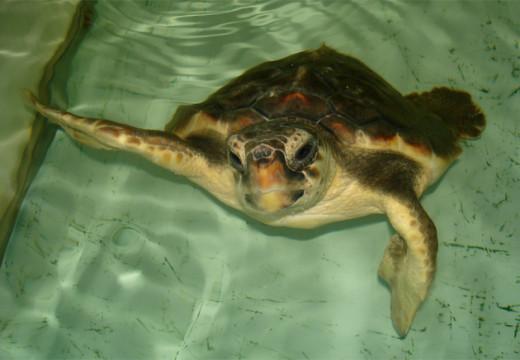 Tartaruga_Numana citta delle tartarughe_Conero