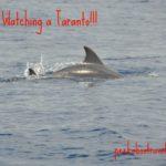 Dolphin watching a Taranto
